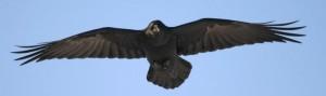 Raven header